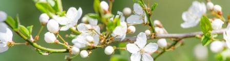 kirschblütenzweig als banner